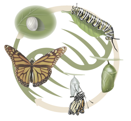 butterfly_lifecycle1