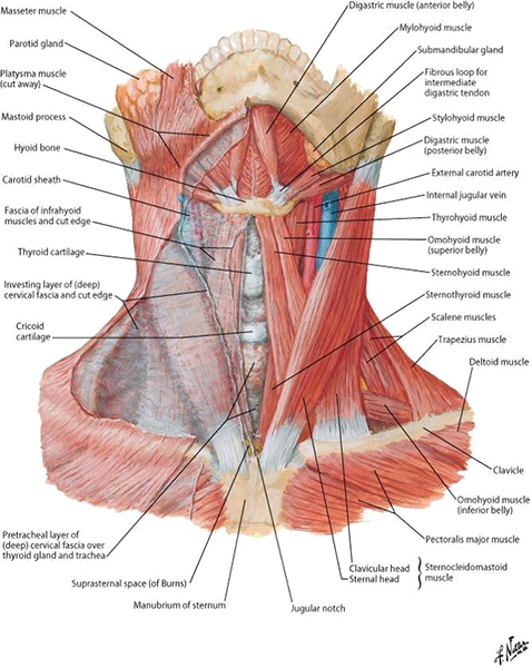 Anterior Neck Muscles