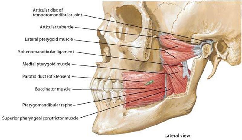 Lateral Temporomandibular Joint (TMJ) Muscles